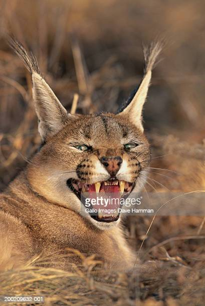 Caracal (Felis caracal) snarling, close-up