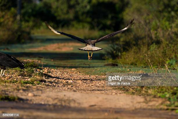 a caracara starts his flight out of the ground of a road - animal selvagem stock pictures, royalty-free photos & images
