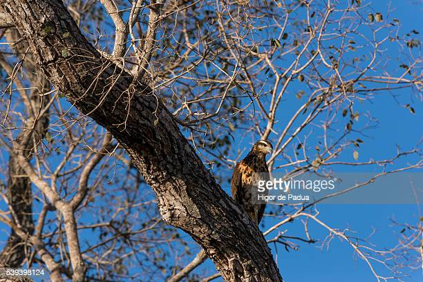 a caracara watches from a tree looking for prey - animal selvagem stock pictures, royalty-free photos & images