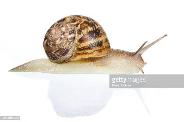 caracol - garden snail stock photos and pictures