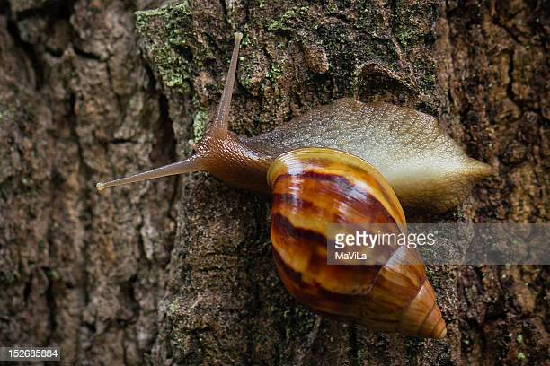 caramujo-africano - giant african land snail stock pictures, royalty-free photos & images