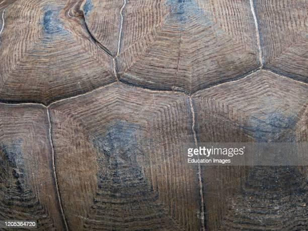 Carapace detail of Aldabra Giant Tortoise, Aldabrachelys gigantea, Astove Atoll, Aldabra island group, Seychelles.
