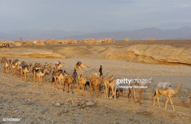 Caravan of camels carrying salt blocks