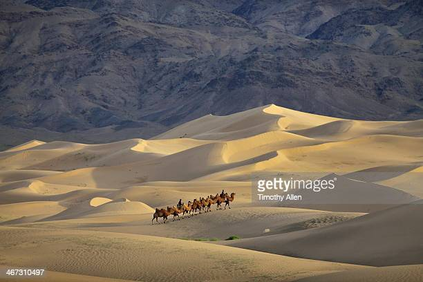 caravan of camels walks across gobi sand dunes - omnogov stock pictures, royalty-free photos & images