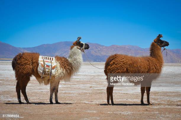 caravan of llamas in salinas grandes, jujuy province argentina. - radicella stock-fotos und bilder