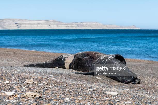 carcass of a dead southern right whale calf on a beach, nuevo gulf, valdes peninsula, argentina. - dead rotten fotografías e imágenes de stock