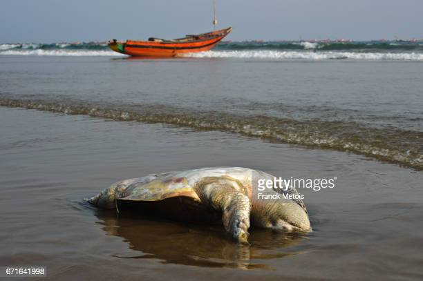 Carcass of a Olive Ridley turtle lying on a beach ( Puri, India)
