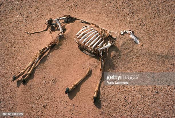 Carcass of Goat