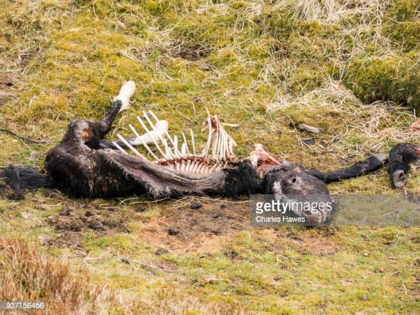 Carcass of wild horse. The Cambrian Way, Wales, UK