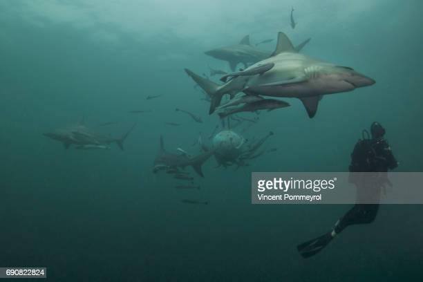 carcharhinus limbatus - kwazulu natal sharks stock pictures, royalty-free photos & images