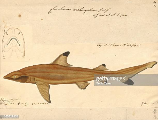 Carcharias melanopterus. Print. The blacktip reef shark is a species of requiem shark. In the family Carcharhinidae. Easily identified by the...