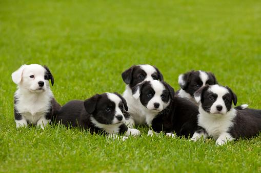 Cardigan Welsh Corgi litter of puppies. 1170081255