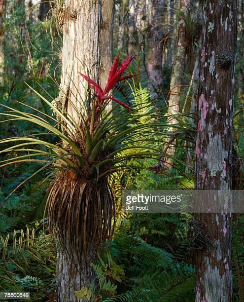 cardinal air plant ( tillandsia fasciculata) on bald cypress (taxodium distichum) on bald cypress, loxahatchee wildlife refuge, florida, usa - bald cypress tree imagens e fotografias de stock
