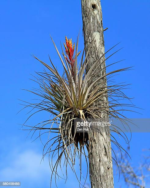 Cardinal airplant on tree trunk