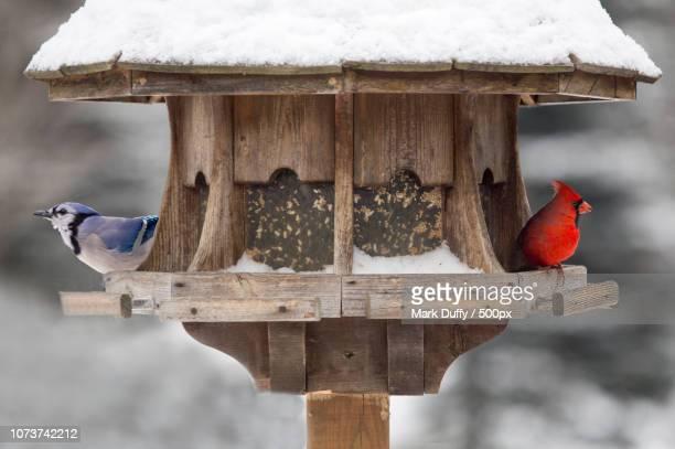 cardinal and blue jay at bird feeder - blue cardinal bird stock pictures, royalty-free photos & images