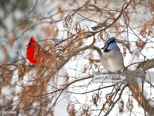 cardinal and blue jay share bush - blue cardinal bird stock pictures, royalty-free photos & images