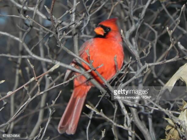 cardinal bird on bare tree - cardinal bird stock photos and pictures