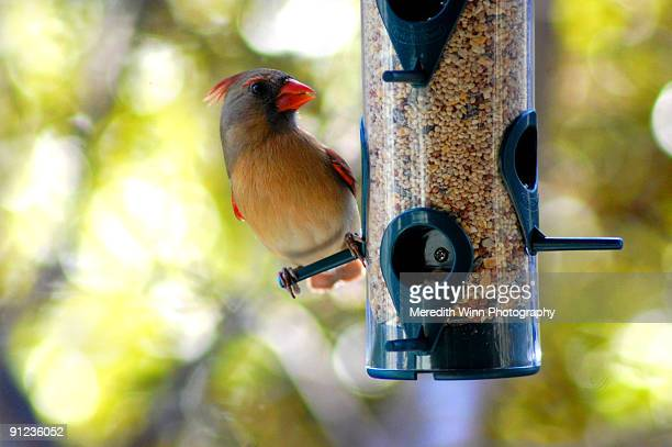 A cardinal bird (male) perched at bird feeder