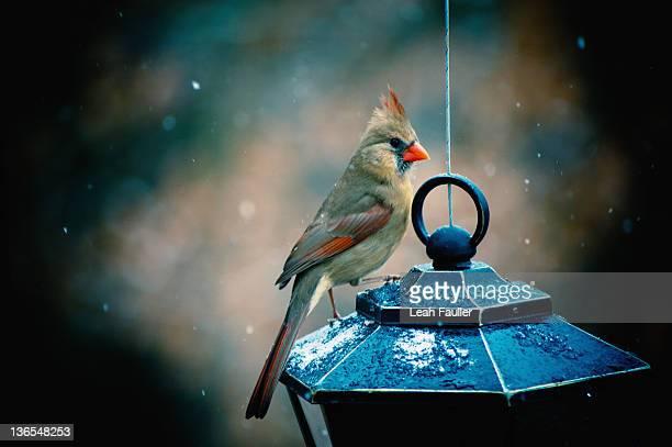 cardinal bird - leah wilde stock-fotos und bilder