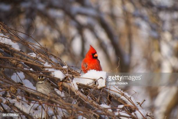cardinal camouflage - cardinal bird stock photos and pictures