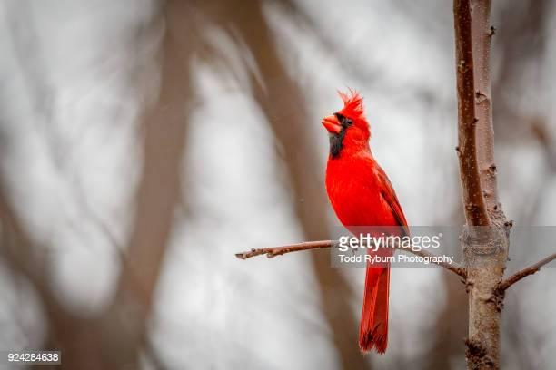 cardinal closeup - cardinal bird stock photos and pictures