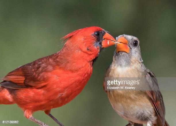 cardinal feeding cardinal - cardinal bird stock photos and pictures