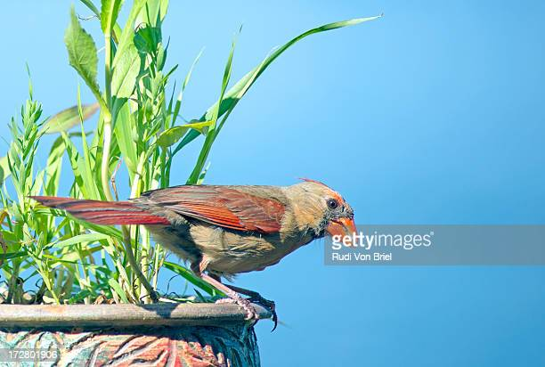 cardinal female with seed in mouth. - blue cardinal bird stock pictures, royalty-free photos & images