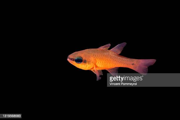 cardinal fish - underwater film camera stock pictures, royalty-free photos & images