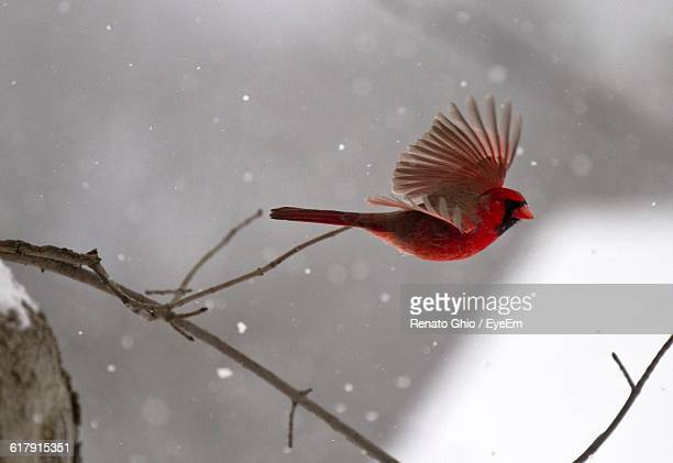 Cardinal Flying During Winter