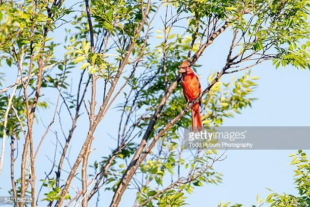 cardinal in a tree - blue cardinal bird stock pictures, royalty-free photos & images
