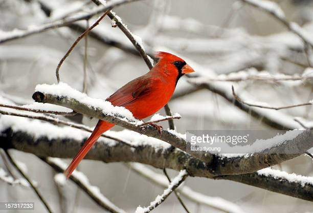 60 top cardinal bird pictures photos and images getty - Pictures of cardinals in snow ...