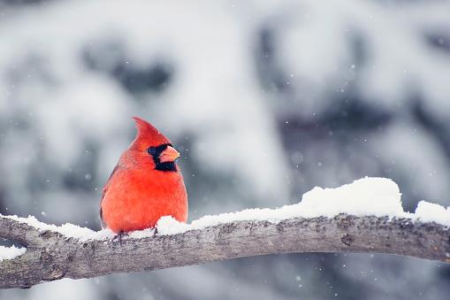 Cardinal in snow 520328740
