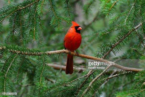 cardinal in spruce tree - branch stock pictures, royalty-free photos & images
