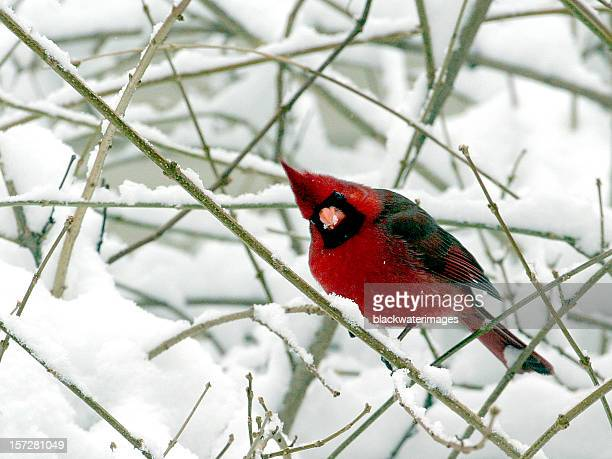cardinal in the snow. - cardinal bird stock photos and pictures