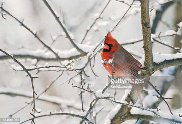 cardinal in the snow - cardinal bird stock photos and pictures
