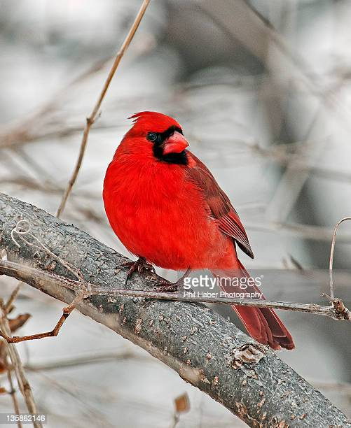 cardinal in winter - phil haber stock pictures, royalty-free photos & images