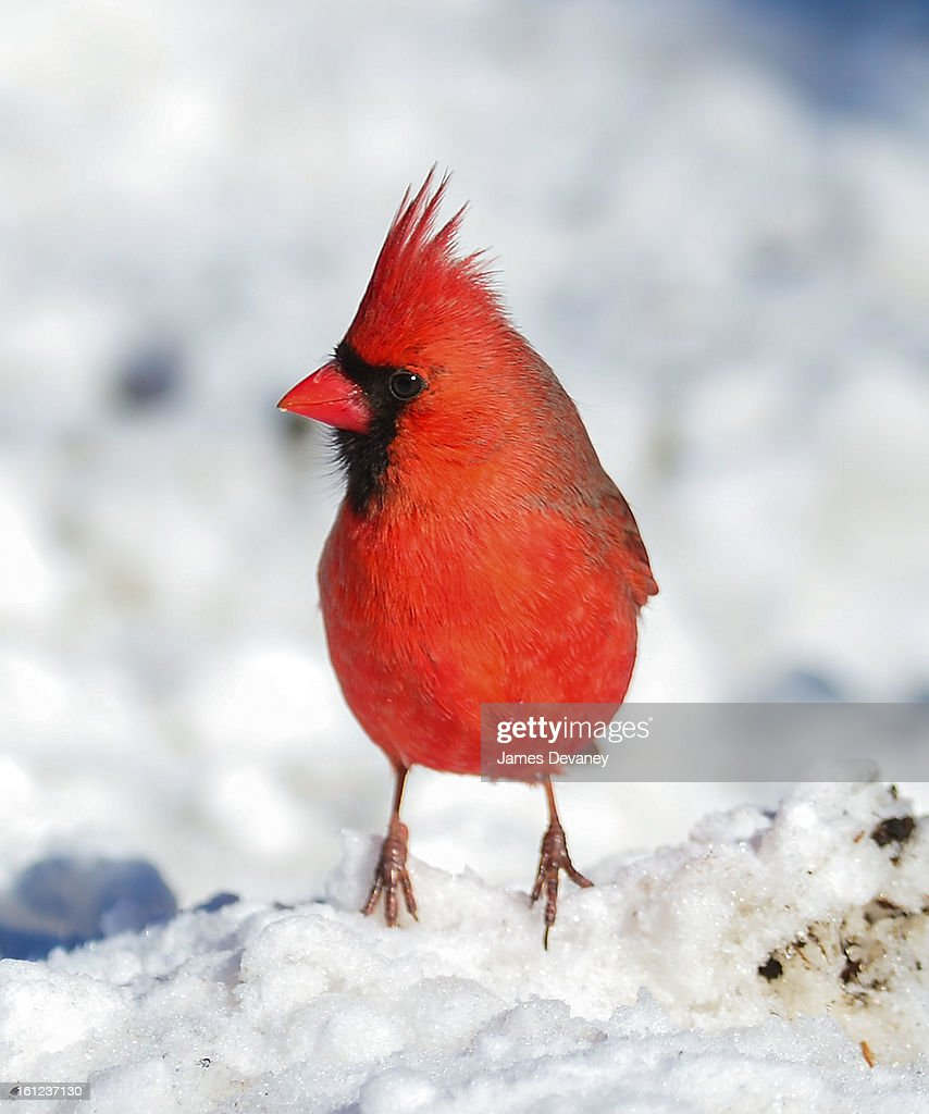 A cardinal is seen at the Bronx Zoo after a snow storm on February 9, 2013 in the Bronx borough of New York City.