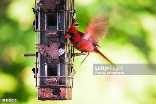 cardinal landing on a birdfeeder - cardinal bird stock photos and pictures