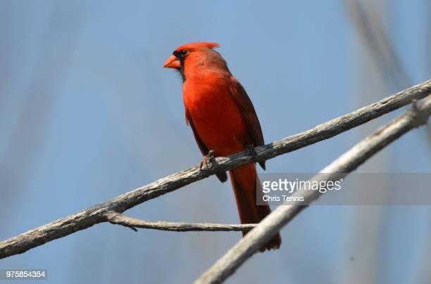 cardinal on a blue sky - blue cardinal bird stock pictures, royalty-free photos & images