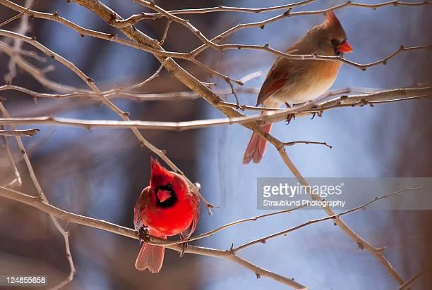 cardinal on tree - cardinal bird stock photos and pictures