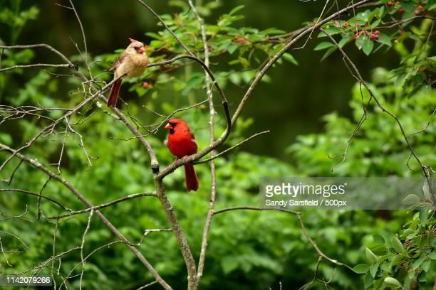 cardinal pair, birds - cardinal bird stock photos and pictures