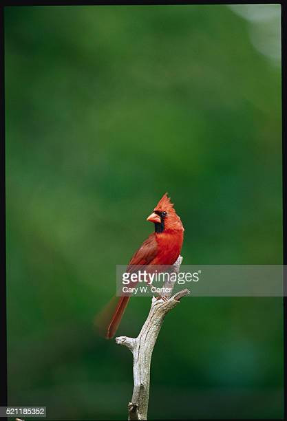 cardinal perched on a tree snag - cardinal bird stock photos and pictures