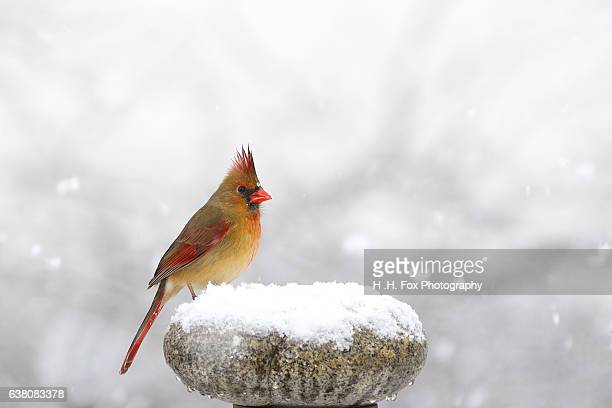 cardinal perched on snow covered rock - cardinal bird stock photos and pictures