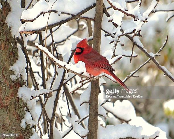 cardinal perching on snow covered bare tree - cardinal bird stock photos and pictures