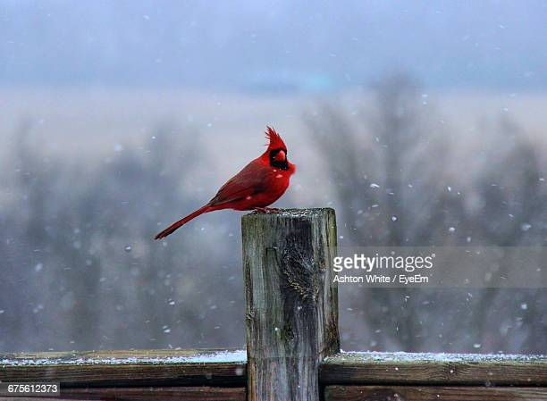 Cardinal Perching On Wooden Fence In Snowfall