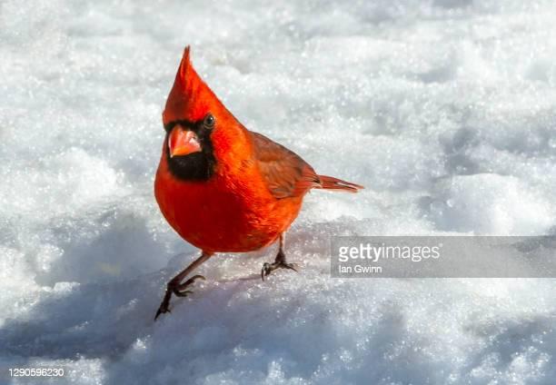 cardinal - ian gwinn ストックフォトと画像