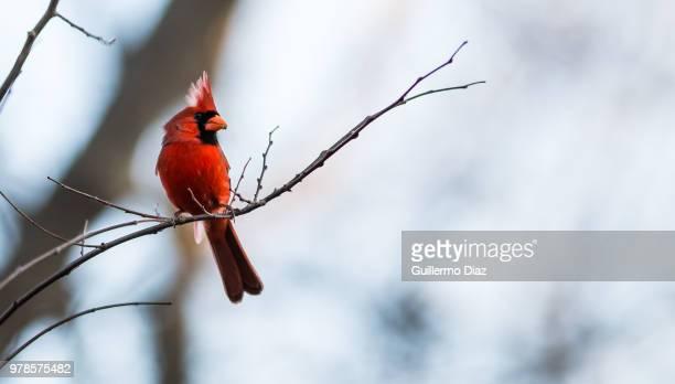 cardinal - cardinal bird stock photos and pictures