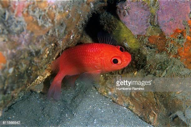 cardinal soldierfish. - squirrel fish photos et images de collection