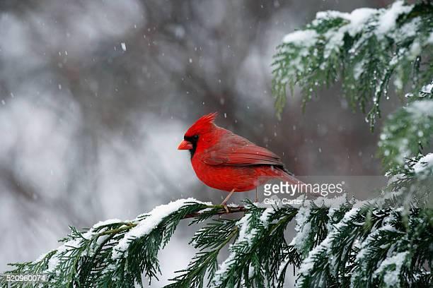 cardinal, state bird of north carolina - cardinal bird stock pictures, royalty-free photos & images