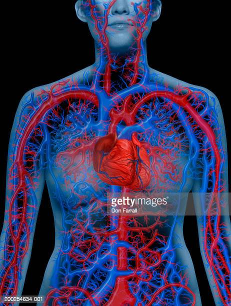 Cardiovascular system illustrated on nude young woman, mid section